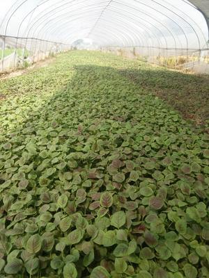 江苏省南京市江宁区红苋菜 20-25cm 紫红