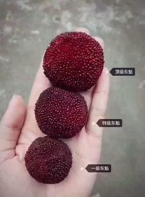 浙江省台州市仙居县东魁杨梅 4 - 5cm