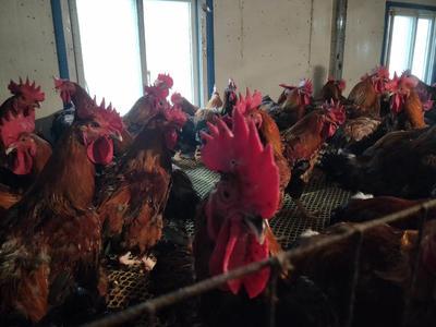 这是一张关于土鸡 公 7-8斤的产品图片