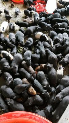 江西省宜春市高安市生态黑豚鼠