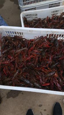 安徽省六安市霍邱县霍邱小龙虾 稻田虾 4-6钱