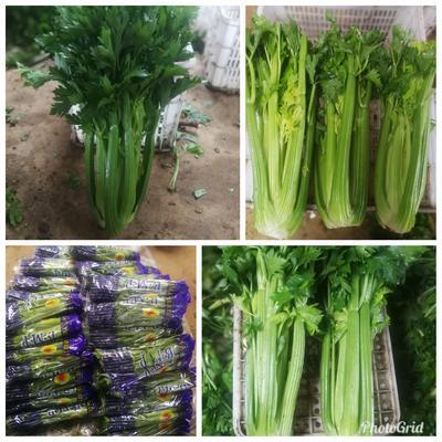 河北省石家庄市藁城区西芹 60cm以上 露天种植 2.5~3.0斤
