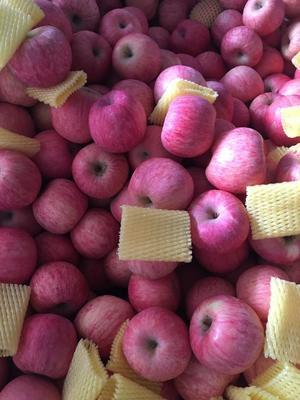山东省烟台市福山区红富士苹果 纸+膜袋 表光 85mm以上
