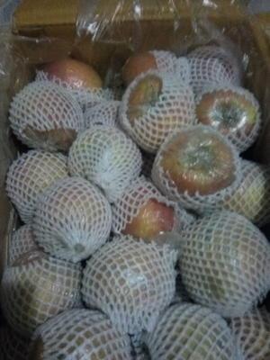 河北省衡水市枣强县红富士苹果 膜袋 片红 80mm以上