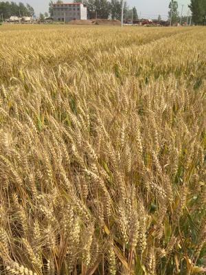 河南省开封市兰考县混合小麦