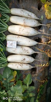 这是一张关于白萝卜 0.2~1斤的产品图片