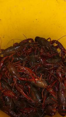 这是一张关于清水小龙虾 人工殖养 6-8钱的产品图片