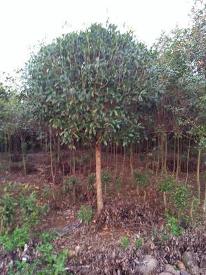广西壮族自治区桂林市全州县银杏实生树