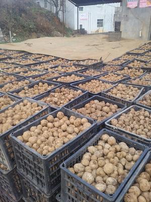 云南省曲靖市宣威市魔芋种子
