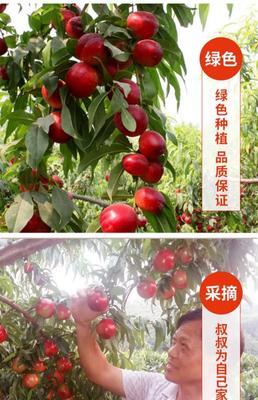 河南省南阳市内乡县曙光油桃 2两以上 55mm以上