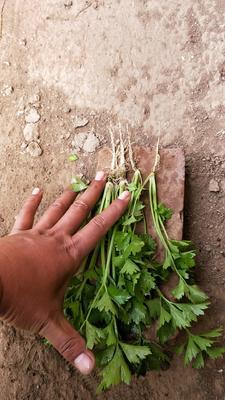 天津武清区西芹 40cm以下 大棚种植 0.5斤以下