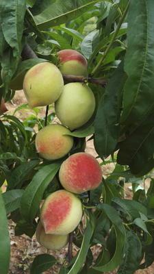 这是一张关于早红蜜桃 60mm以上 3 - 4两的产品图片