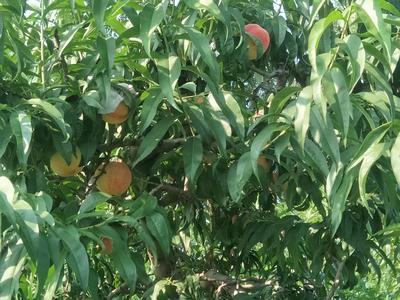 河北省廊坊市安次区红桃 45mm以上 3 - 4两