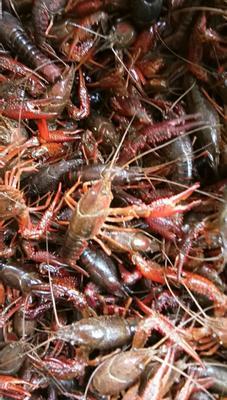 这是一张关于潜江小龙虾 塘虾 678910.0钱的产品图片