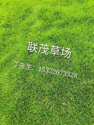 广东省广州市增城区马尼拉草皮