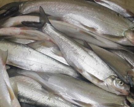 白条鱼 野生 0.5公斤以下