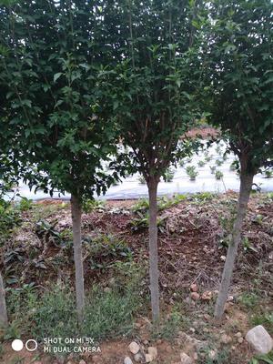 山东省临沂市平邑县红花木槿树