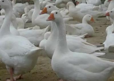 这是一张关于莱茵鹅 统货 全散养 8-10斤的产品图片