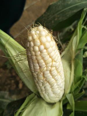 这是一张关于甜糯玉米 白粒 鲜货的产品图片