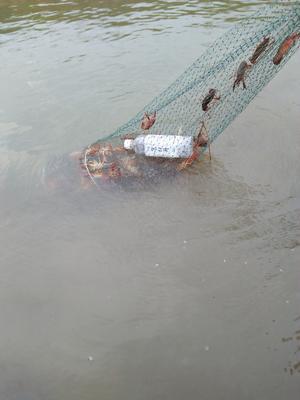 这是一张关于清水小龙虾 稻田虾 456789.0钱的产品图片
