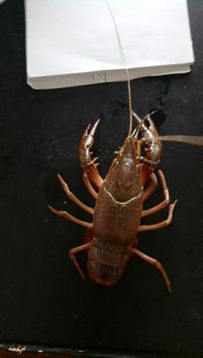 这是一张关于潜江小龙虾 人工殖养 4-6钱的产品图片