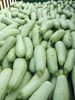 河南省南阳市新野县法拉利西葫芦 0.8~1斤