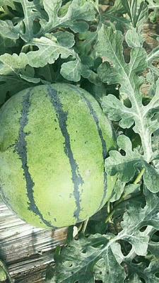 山东省东营市广饶县京欣西瓜 有籽 1茬 8成熟 10斤打底