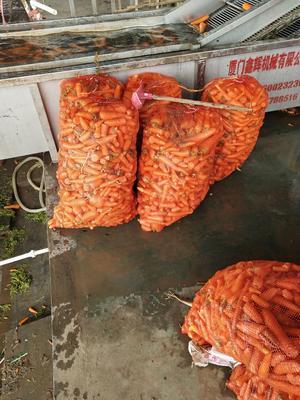 山东省青岛市莱西市三红胡萝卜 10cm以下 2两以下 3cm以下