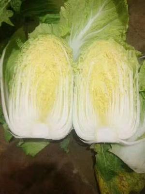 甘肃省定西市临洮县黄心大白菜 3~6斤 毛菜
