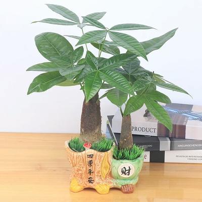 广西壮族自治区钦州市灵山县盆栽发财树
