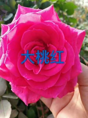 云南省昆明市呈贡区树状月季