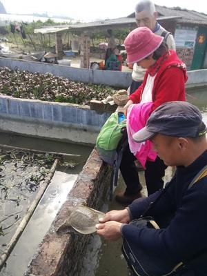 广西壮族自治区桂林市临桂县外塘甲鱼
