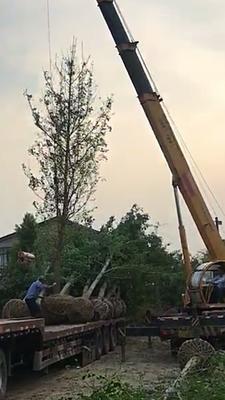 江苏省盐城市东台市普通水杉