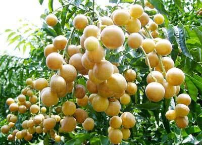 广西壮族自治区南宁市西乡塘区鸡心黄皮 球型