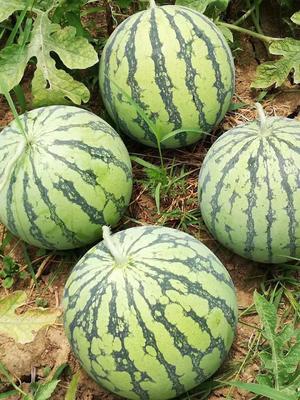 这是一张关于8424西瓜 无籽 1茬 9成熟 7斤打底的产品图片