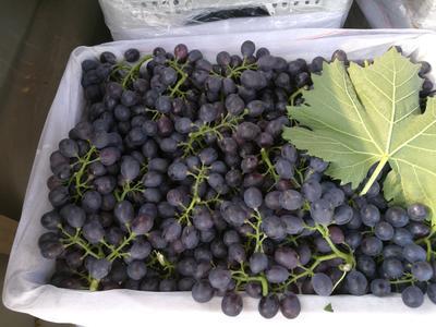 山东省潍坊市坊子区玫瑰香葡萄 5%以下 1次果 1-1.5斤
