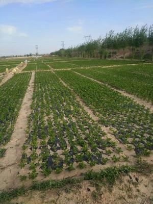 宁夏回族自治区中卫市海原县宁夏西芹 50~55cm 露天种植 0.5~1.0斤