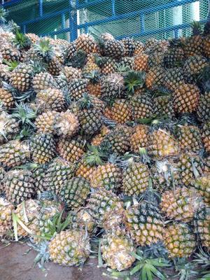 广西壮族自治区桂林市七星区徐闻菠萝 1.5 - 2斤