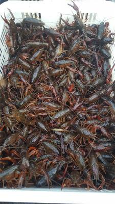 湖北省荆州市监利县中国龙虾 国产 0.6-0.8斤/只