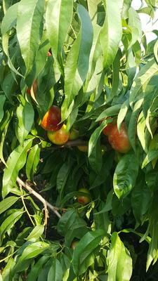 山西省运城市永济市千年红油桃 2两以上 50mm以上