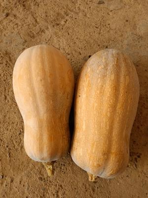 广西壮族自治区南宁市西乡塘区金韩蜜本南瓜 4~6斤 长条形