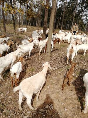 这是一张关于波尔山羊 30-50斤的产品图片