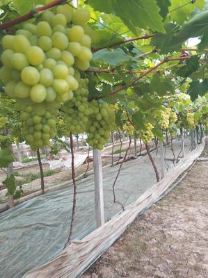 浙江省台州市温岭市维多利亚葡萄 5%以下 1次果 2斤以上