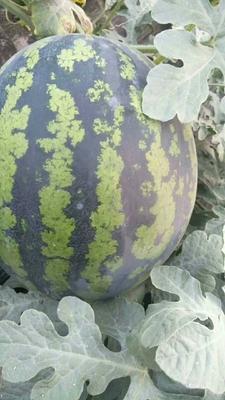 这是一张关于甜王西瓜 有籽 1茬 8成熟 8斤打底的产品图片