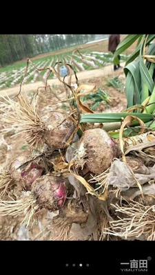 这是一张关于杂交大蒜 6.0cm 多瓣蒜的产品图片