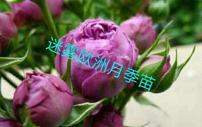 四川省成都市温江区欧月