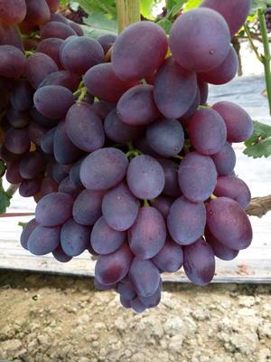 河北省衡水市饶阳县黑芭拉多葡萄 5%以下 1次果 1-1.5斤