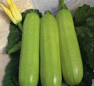 山西省晋中市太谷县绿皮西葫芦 0.6~0.8斤