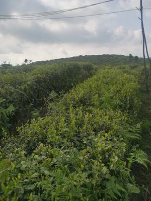 贵州省毕节市纳雍县野生绿茶 散装 三级