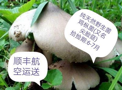 四川省自贡市荣县野生菌罐头 1个月